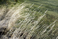Long golden delicate grasses growing wild naturally and leaning Royalty Free Stock Photo
