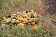 Long gourd in the dry grass in autumn Royalty Free Stock Photography