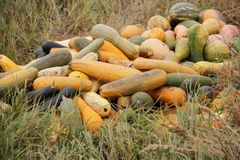Long gourd in the dry grass in autumn Stock Images