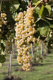 Long grapes Stock Photography