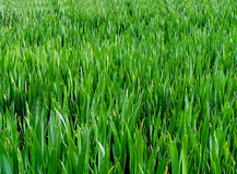 Long Grass. Growing Field stock photos