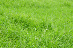 Long grass. Royalty Free Stock Photo