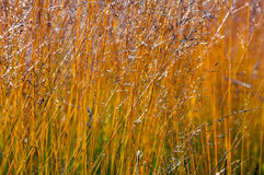Long grass. Long golden grass in sunlight Royalty Free Stock Image