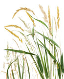 Long grass. Variety of types of long grasses collaged Stock Photo