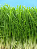 Long Grass. Long wheat grass Royalty Free Stock Image