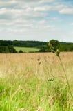 Long grass Royalty Free Stock Image