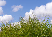 Long grass closeup Stock Image