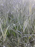 Long grass Royalty Free Stock Photo