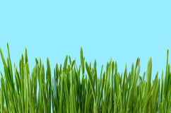 Long Grass Growing against Blue Background Royalty Free Stock Images
