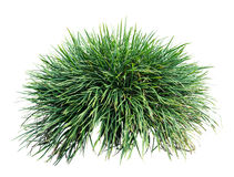 Long grass. Isolated on white background Royalty Free Stock Photo