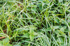 Long grass and nettles with silver dew droplets. Small dew drops on ;ong blades of grass and on the leaves of stinging nettles early in the early morning in the Stock Photos