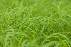 Long grass in a open field Royalty Free Stock Photos