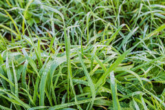 Long grass with silver dew droplets. Small dew drops on long blades of grass early in the morning on a beautiful day in the autumn season Royalty Free Stock Photos