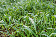Long grass with silver dew droplets. Small dew drops on long blades of grass early in the morning on a beautiful day in the autumn season Stock Photo