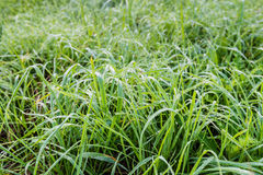Long grass with silver dew droplets. Small dew drops on ;ong blades of grass early in the morning on a beautiful day in the autumn season Stock Photo