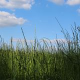 The long grass of summer. Open fields in summer Royalty Free Stock Photography