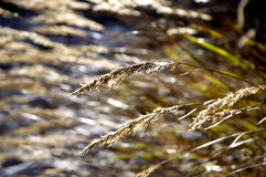 Long grass on the sun Royalty Free Stock Photos