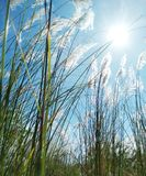 Long Grass and Sun With Breeze. Mother Nature is Beautiful place with Good Scenes royalty free stock photo