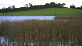 Long grass swaying in the wind. Long grass growing out of the water sways in the Irish breeze. Green hills and trees can be seen in the background stock video footage