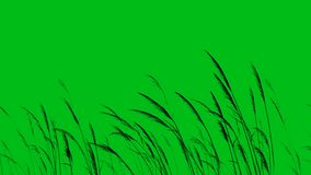 Long Grass or Wheat Silhouette Blowing in the Wind Green Screen 4K Loop