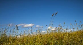 Long Grass in Wind and Blue Sky - Panoramic. Grass close up with blue sky and white cumulus cloud in the distance stock images