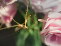 Long Grasshopper Walk on The Pink Flowers. The Long Grasshopper Walk on The Pink Flowers in The Gaden Stock Photos