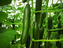 Long green cucumbers are hanging on the stalks Royalty Free Stock Photo