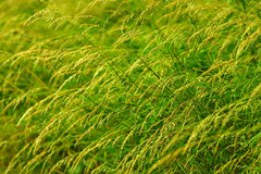 Long green grass Stock Images