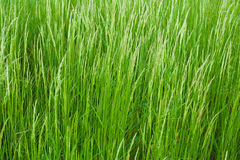 Long green grass Royalty Free Stock Images
