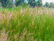 Long green grass blooming with diverse colors in a nature landscape scene. Some Long green grass blooming with diverse colors in a nature landscape scene stock photography