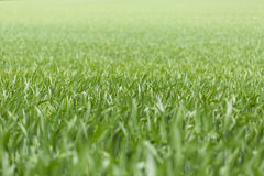 Long green grass on a bright sunny day Stock Photography