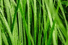 Long green grass covered with rain. Photo of long grass covered with rain droplets stock photo