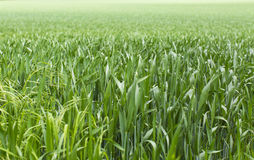 Long green grass in a field Royalty Free Stock Photos