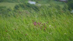 Long green grass moving in the wind royalty free stock photo