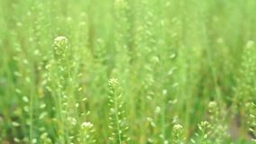 Long green grass moving in the wind. Spring time stock video