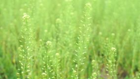 Long green grass moving in the wind. Spring time stock video footage