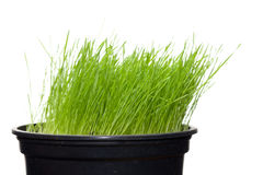 Long green grass in plant pot Stock Photography