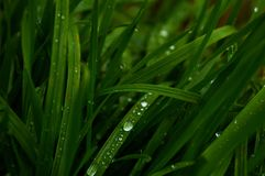 Long, green grass, raindrops