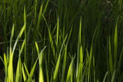 Long green grass stock image