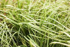 Long green grass in soft focus, beautiful natural background and Stock Photography