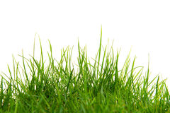 Long green grass on a white background Royalty Free Stock Photo