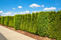 Long green hedge along concrete sidewalk on blue sky background. Long green hedge along concrete sidewalk on blue sky with clouds background Stock Photography