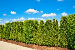 Long green hedge along concrete sidewalk with cloudy sky background. Long green hedge along concrete sidewalk on blue sky background Royalty Free Stock Images