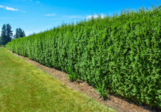 Long green hedge with blue sky background stock photo