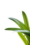 Long green leaves on white background Stock Photos