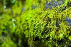 Long green moss covering cracked rocks and tree roots in the forest, selective focus. Close-up stock image