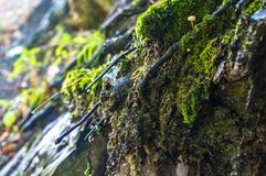Long green moss covering cracked rocks and tree roots in the forest, selective focus. Close-up stock photo