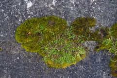 Long green moss covering cracked rocks and tree roots in the forest, selective focus. Close-up royalty free stock images