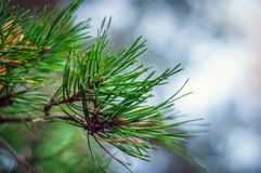 Long green needles of pine branches on a light background stock photo