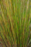 Long green reeds background Stock Images